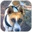 Photo 3 - Jack Russell Terrier/Corgi Mix Dog for adoption in Chester, Maryland - Roger