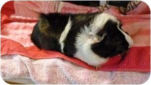 Guinea Pig for adoption in Fullerton, California - Pepe & Cody