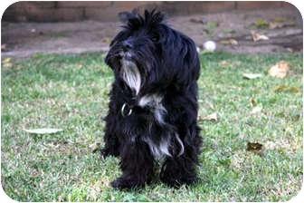 Shih Tzu Mix Dog for adoption in San Dimas, California - Zoey