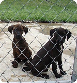 Labrador Retriever/Plott Hound Mix Puppy for adoption in South Haven, Michigan - Puppies 2