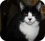 Domestic Shorthair Cat for adoption in West Des Moines, Iowa - Pete