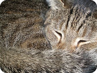Domestic Mediumhair Cat for adoption in Columbia, Maryland - COURTESY POST Pancakes