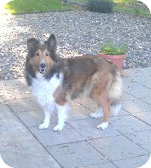 Sheltie, Shetland Sheepdog Dog for adoption in Circle Pines, Minnesota - Dixie