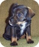 Miniature Pinscher/Wirehaired Fox Terrier Mix Puppy for adoption in Ellensburg, Washington - TULIP