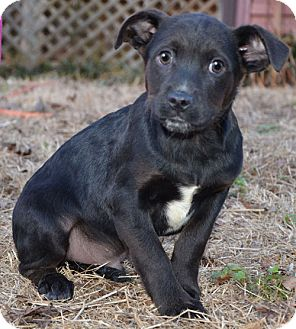 Labrador Retriever Mix Puppy for adoption in Hagerstown, Maryland - Doc