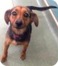 Dachshund/Beagle Mix Dog for adoption in Harrisonburg, Virginia - Sebastian