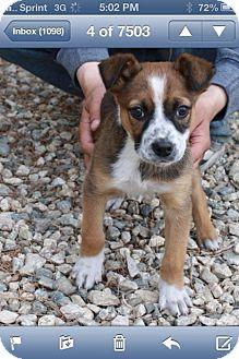 Australian Shepherd/Labrador Retriever Mix Puppy for adoption in Studio City, California - Maple
