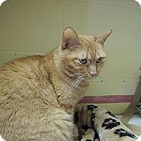 Domestic Shorthair Cat for adoption in House Springs, Missouri - Sonoma