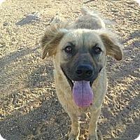Adopt A Pet :: Pal  (urgent) - Lucerne Valley, CA