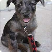 Adopt A Pet :: Bentley - Arlington, TX