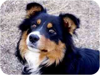 Australian Shepherd Mix Dog for adoption in Roundup, Montana - Levi
