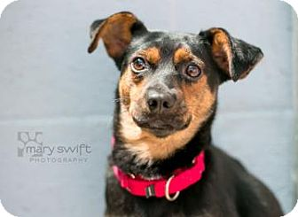 Dachshund/Jack Russell Terrier Mix Dog for adoption in Reisterstown, Maryland - Renee