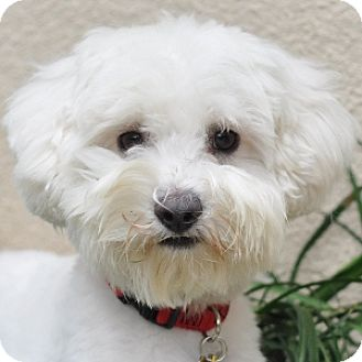 Bichon Frise Mix Dog for adoption in La Costa, California - Scamp
