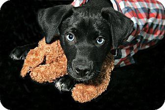 Labrador Retriever Mix Puppy for adoption in Lufkin, Texas - Zues