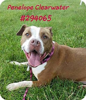 American Staffordshire Terrier/Terrier (Unknown Type, Medium) Mix Dog for adoption in Troy, Michigan - Penelope Clearwater