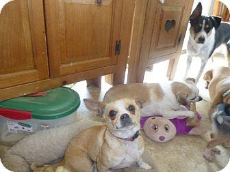 Chihuahua Mix Dog for adoption in Glastonbury, Connecticut - Maya - courtesy
