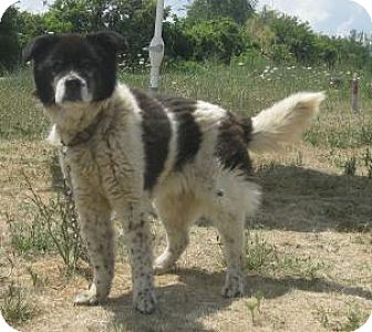 Border Collie/Chow Chow Mix Dog for adoption in Knoxville, Iowa - Lane