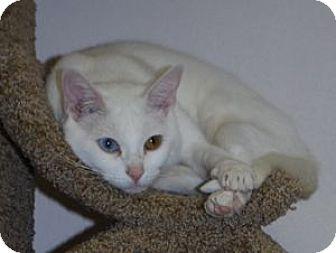 Domestic Shorthair Cat for adoption in Colorado Springs, Colorado - Pearl