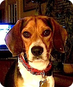 Beagle Dog for adoption in Houston, Texas - Bentley