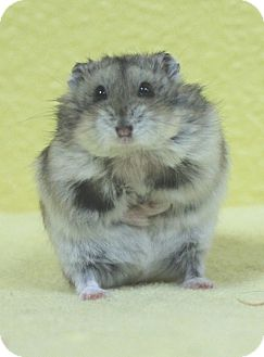 Hamster for adoption in Benbrook, Texas - Robbie