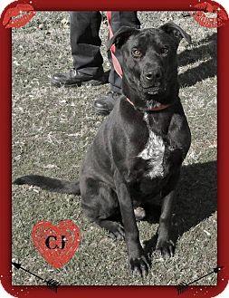 Labrador Retriever/Spaniel (Unknown Type) Mix Dog for adoption in Benton, Arkansas - CJ