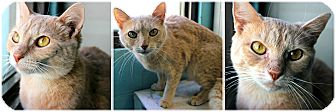 Domestic Shorthair Cat for adoption in Forked River, New Jersey - Sassy