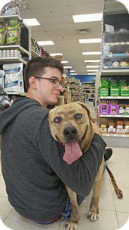 American Bulldog/Boxer Mix Dog for adoption in New Albany, Ohio - Tori