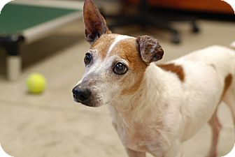Jack Russell Terrier Mix Dog for adoption in Nashville, Tennessee - Travis