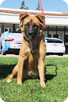 German Shepherd Dog/Golden Retriever Mix Puppy for adoption in Agoura Hills, California - Khalua