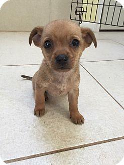 Chihuahua/Labrador Retriever Mix Puppy for adoption in Lima, Pennsylvania - Happy