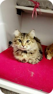Domestic Mediumhair Cat for adoption in Chaska, Minnesota - Kelly