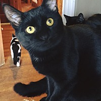 Domestic Shorthair Cat for adoption in Burlington, North Carolina - TOBY