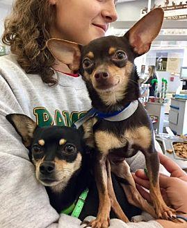 Miniature Pinscher Mix Dog for adoption in San Dimas, California - Peno