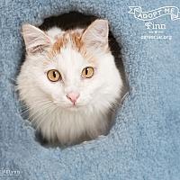 Turkish Van Cat for adoption in Phoenix, Arizona - Finn