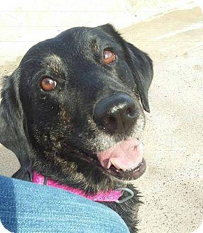 Labrador Retriever Mix Dog for adoption in Rowlett, Texas - Grace