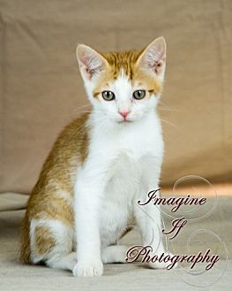 Domestic Shorthair Cat for adoption in Crescent, Oklahoma - Apoc