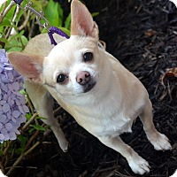 Adopt A Pet :: Fawn - Bridgeton, MO