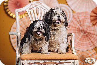 Lhasa Apso/Shih Tzu Mix Dog for adoption in Portland, Oregon - Molly & Sherman