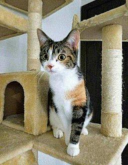 Calico Cat for adoption in Naperville, Illinois - Autumn