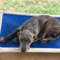 Adopt A Pet :: Camo - Brownwood, TX