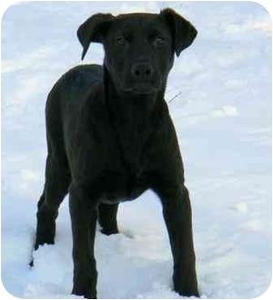 Labrador Retriever/Beagle Mix Puppy for adoption in Salem, Massachusetts - Licorice