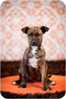 Boxer/Pit Bull Terrier Mix Puppy for adoption in Portland, Oregon - Inky