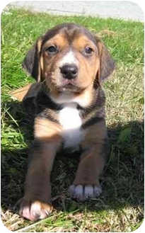 Treeing Walker Coonhound Mix Puppy for adoption in Florence, Indiana - Scoot