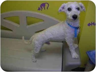 Bichon Frise Mix Dog for adoption in HARRISONVILLE, Missouri - Chancellor