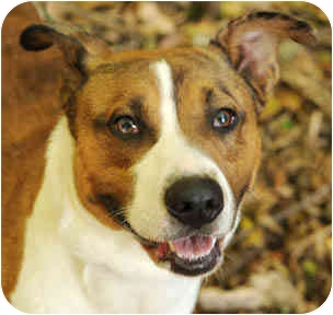 Australian Cattle Dog/American Pit Bull Terrier Mix Dog for adoption in Chicago, Illinois - Logan