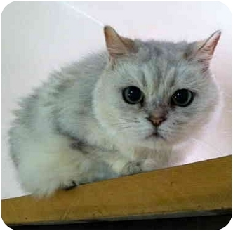 American Shorthair Cat for adoption in Portland, Oregon - American Shorthairs