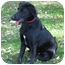 Photo 2 - Shepherd (Unknown Type)/Flat-Coated Retriever Mix Dog for adoption in Skillman, New Jersey - Tobe