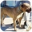 Photo 2 - Mastiff/American Pit Bull Terrier Mix Dog for adoption in Berkeley, California - Tiger