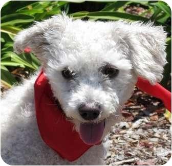 Poodle (Miniature) Puppy for adoption in Encinitas, California - Bo