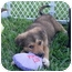 Photo 2 - Shepherd (Unknown Type)/Spaniel (Unknown Type) Mix Puppy for adoption in West Palm Beach, Florida - CHANEL